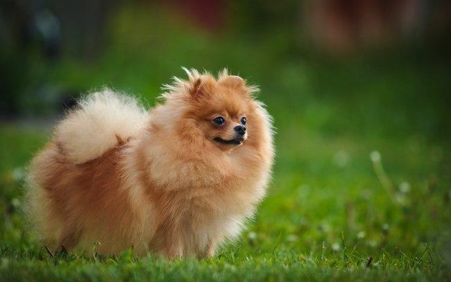 Conheça as dez raças de pets mais caras do Brasil