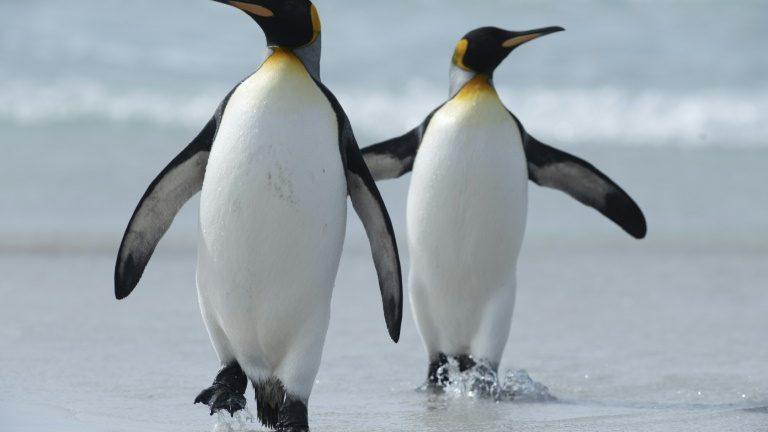 Ilhas Malvinas aposta nos pinguins-reis para aumentar turismo